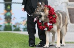 Jamaican german-shepard-wedding