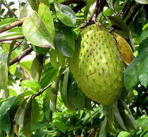 jamaican soursop tree