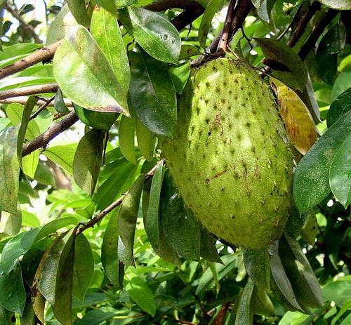 jamaican soursop tree