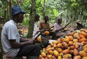 jamaican farmers of cocoa