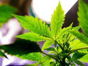 Marijuana Growers Association Launched in Jamaica