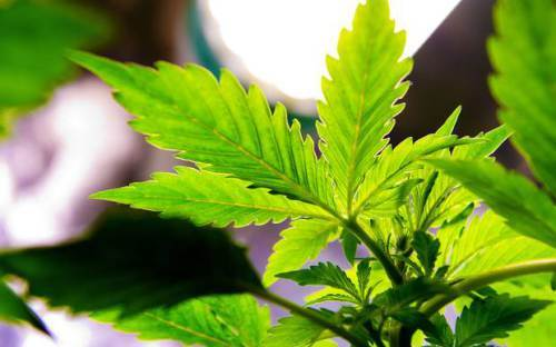 Marijuana Growers Association Launched in Jamaica