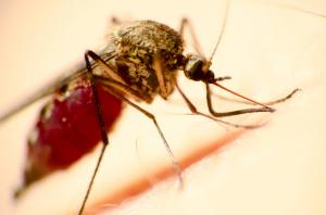 chikungunya virus spread by aedes mosquito