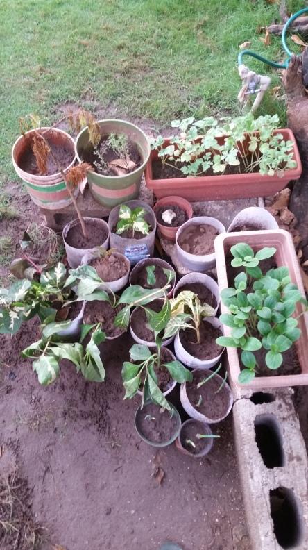 Jamaican Urban Organic Farming: Sawdust Path