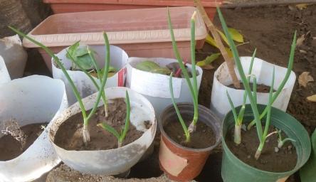 2016090Jamaican Urban Organic Farming: Planting scallions