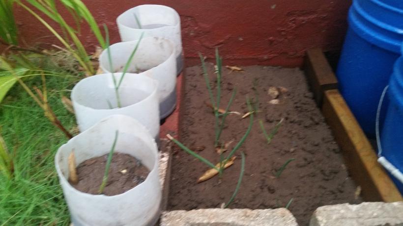 2016090Jamaican Urban Organic Farming: Planting garlics
