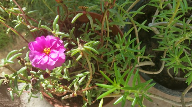 Jamaican Urban Organic Farming: Small Flowers