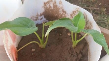 Jamaican Urban Organic Farming: Small Flowers