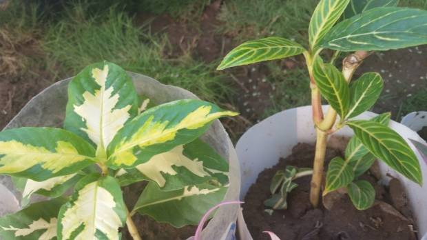 Jamaican Urban Organic Farming: The Buds Of My Labour
