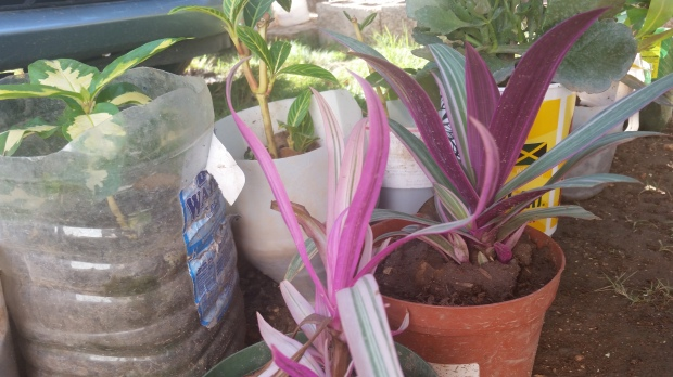 Jamaican Urban Organic Farming: Plastic Bottles for Container Gardening