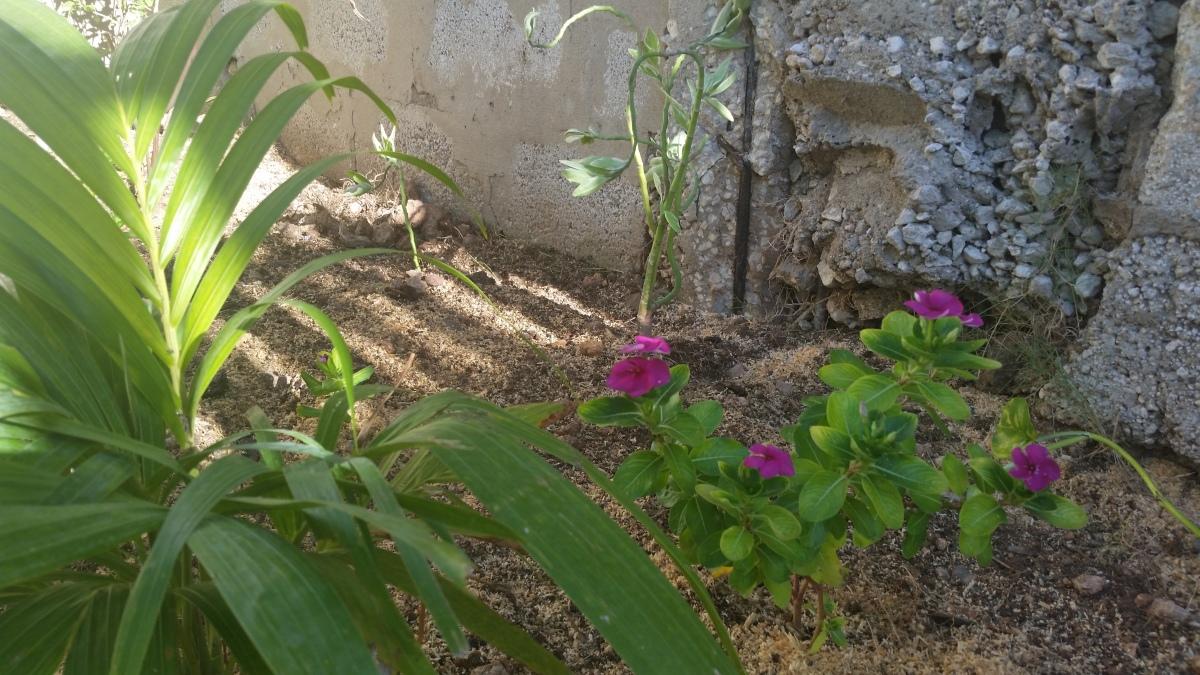 Jamaican Urban Organic Farming: The Buds Of My Labour