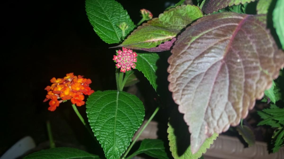 Jamaican Urban Organic Farming: Lantana