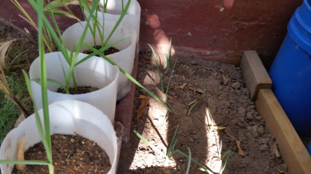 Jamaican Urban Organic Farming: My Garlics and Scallions Update