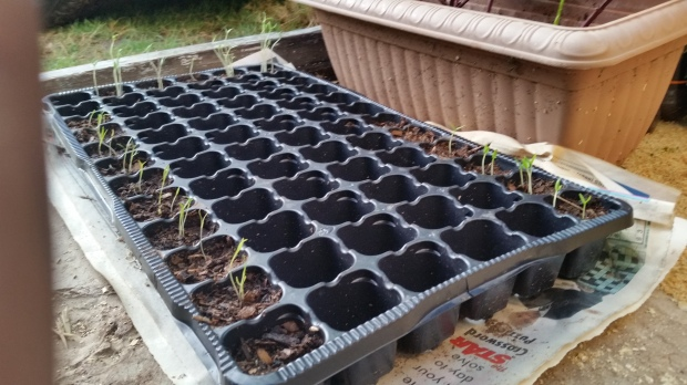 Jamaican Urban Organic Farming: The Germination Process