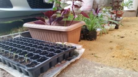 Jamaican Urban Organic Farming: The Germination Process