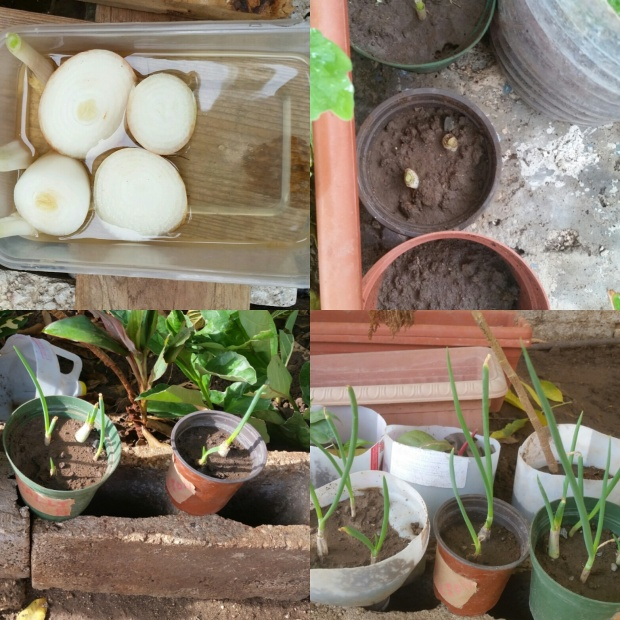 Planting Melons, garlic, onions and scallions