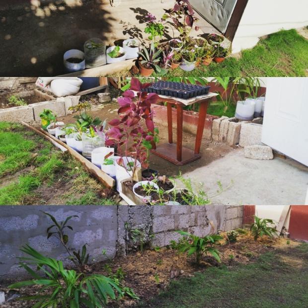 Jamaican Urban Organic Farming: Getting Rid Of The Grass