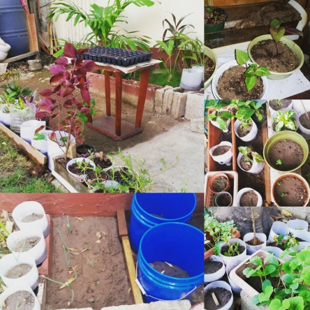 Using containers to grow potatoe, garlic and flowers