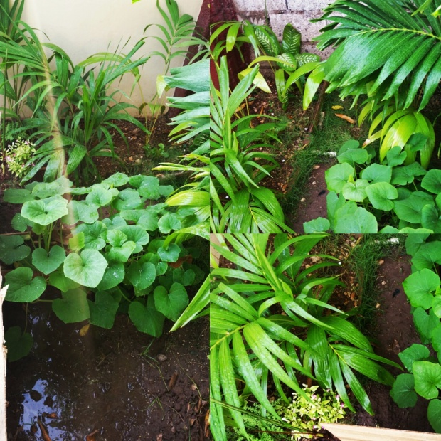 Jamaican Urban Organic Farming: Sun Rays and Sunrises