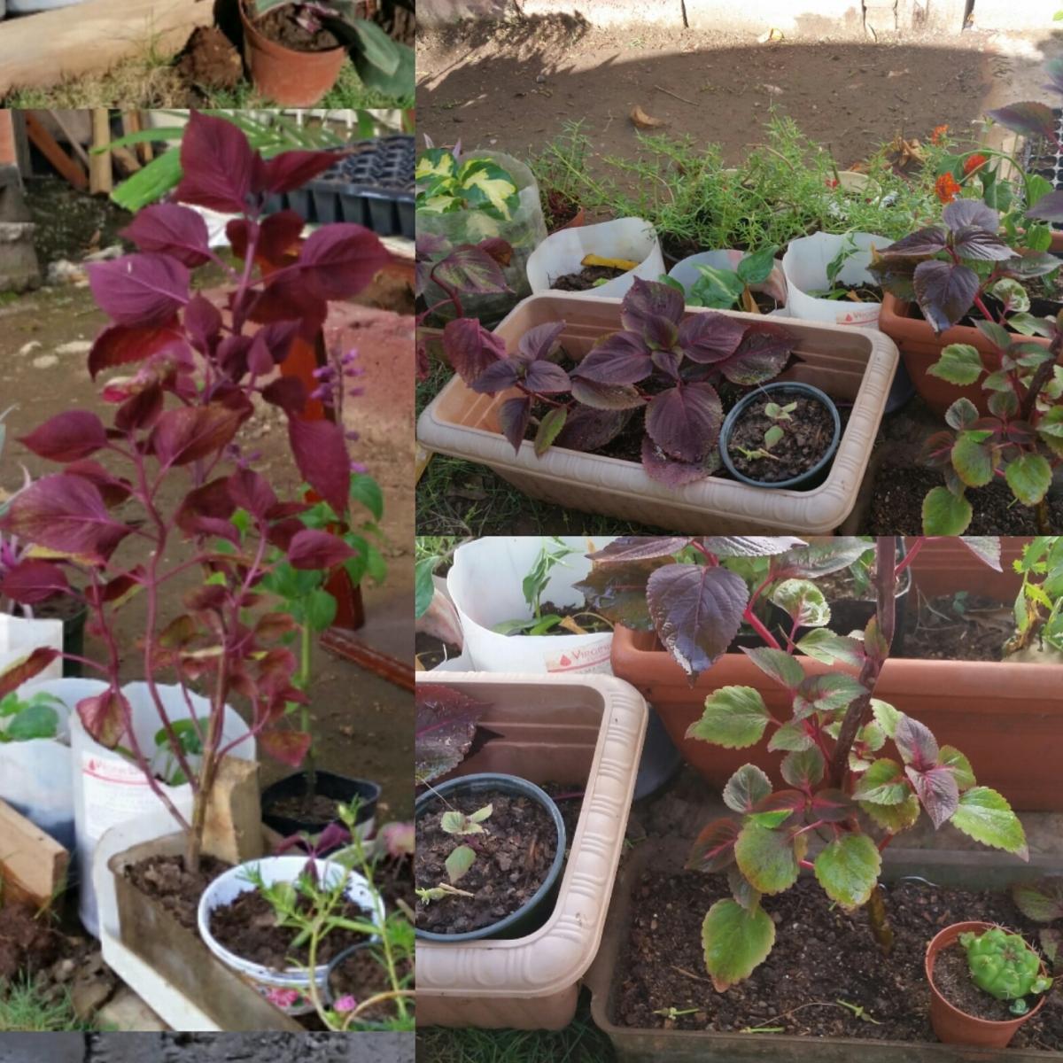 Jamaican Urban Organic Farming: Pruning, A Necessary Evil