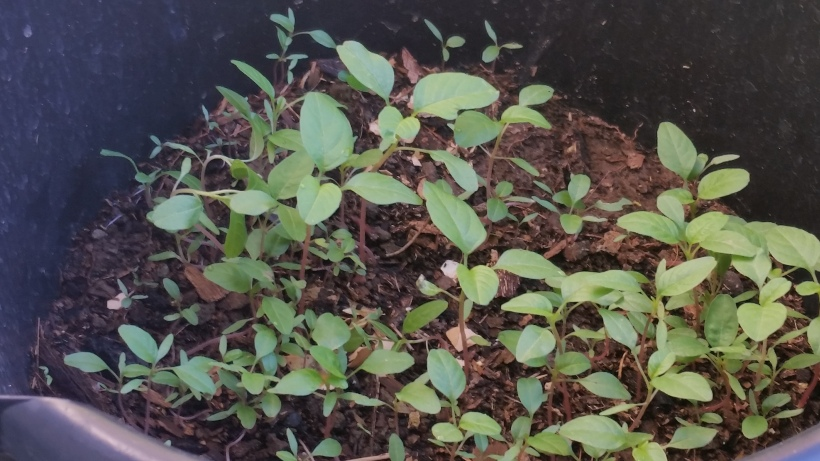 Jamaican Urban Organic Farming #24: Callaloo Update