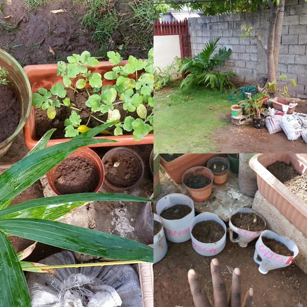 Jamaican Urban Organic Gardening: Views From My Garden #1