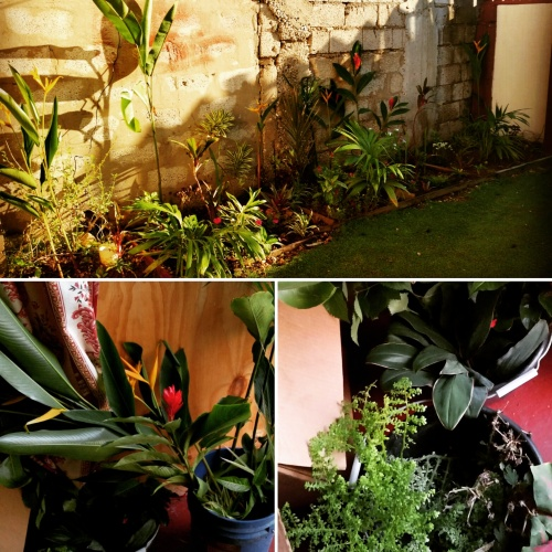 Jamaican Urban Organic Gardening: Views From My Garden