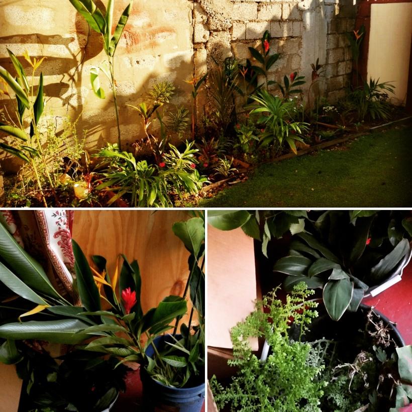 Jamaican Urban Organic Gardening: Views From My Garden
